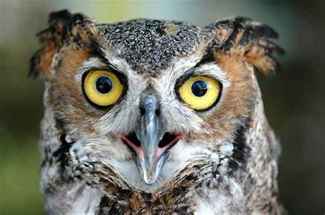 nest cam of the month great horned owls cool green science