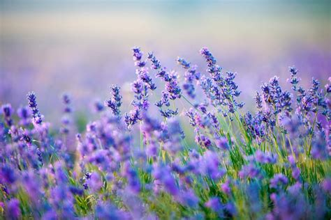 hardy lavender plants grow herbs and flowers in the best perennial herbs to grow hgtv