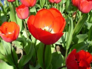 Ikan Bunga Pink 3 by Gambar Bunga Bunga Tulip