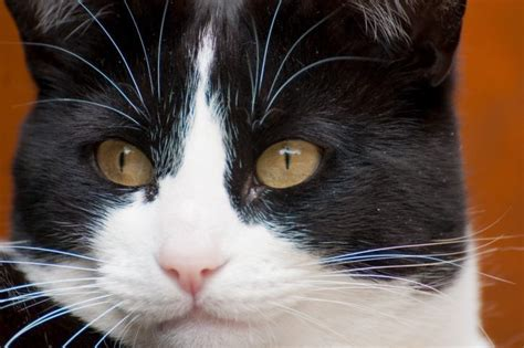 cat whiskers what you need to about cat whiskers