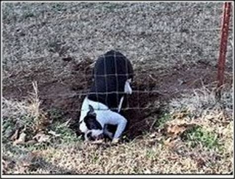 keep from digging fence puppy ate goose pitbull adoption nc keep dogs from digging wood fence
