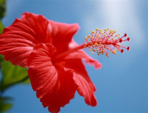 sebalik merahnya bunga raya