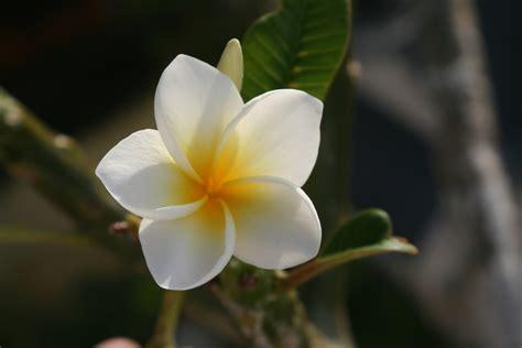 Hawaiian Flowers by Hawaiian Flower Of Beautiful Flower The Hawaiin