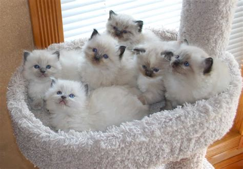 ragdoll breeders ragdoll cat breeders missouri cats
