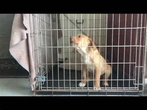 8 week puppy crate puppy 8 weeks simple sit to stationary plus signal funnydog tv