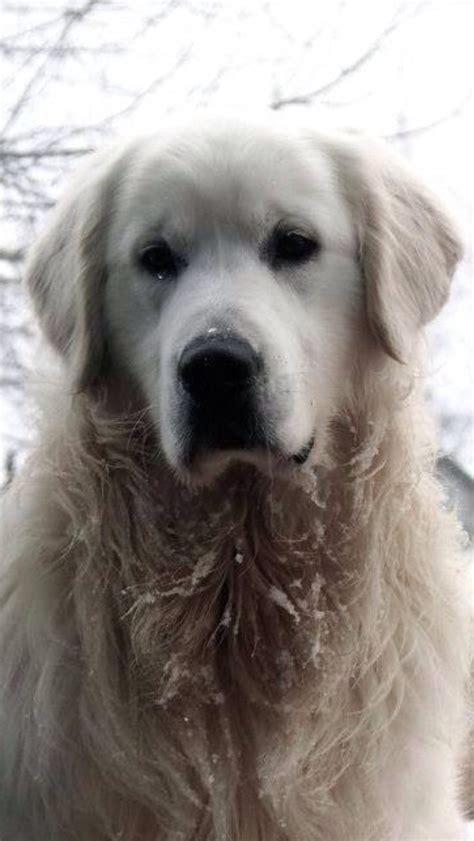 puppy temperament test volhard puppy temperament test hues of gold goldens
