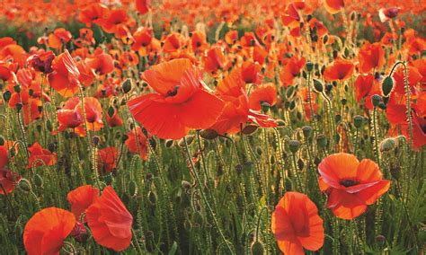 gardens why the poppy is more than a symbol of remembrance life and style the guardian