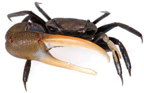 Crabs – Tybee Island Marine Center