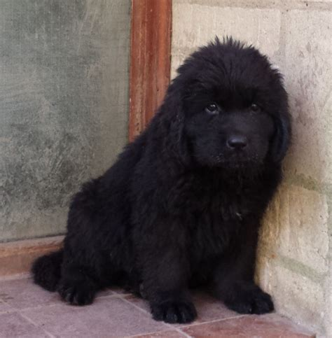 newfoundland puppies colorado newfoundland breeder