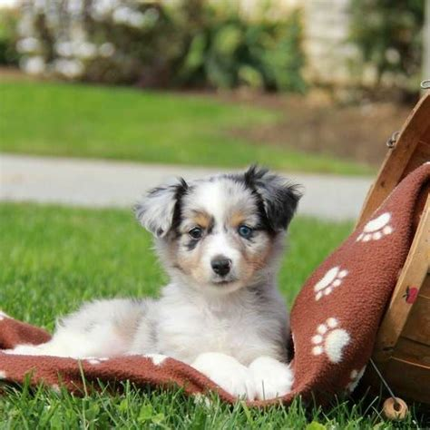 mini australian shepard puppies miniature australian shepherd puppies for sale greenfield puppies