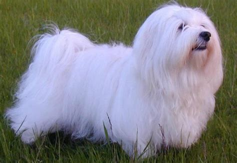havanese cross breeds tips on how to groom a havanese or puppy havanese breeders