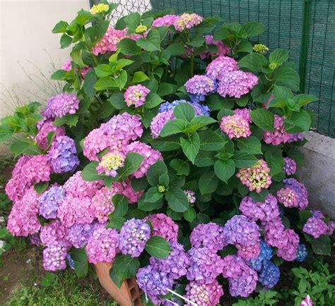 coltivare fiori in vaso come coltivare le ortensie fiori in giardino consigli