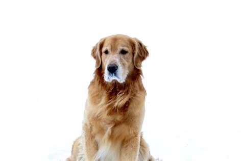 golden retrievers review golden retrievers home grown trilogy breeder sitehome grown trilogy breeder site