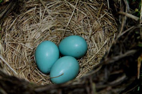 robin s egg blue daily bulldog