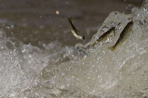 boat launch yuba city thousands of baby salmon die in hatchery mishap sfgate