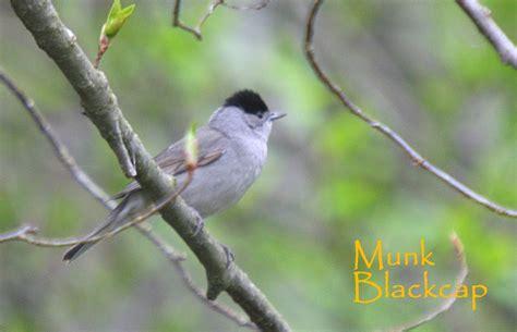 fuglevennskap dagens fugl nr  munk