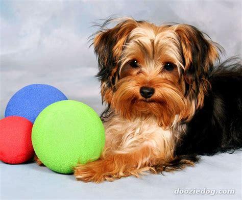 yorkie puppies wisconsin terrier 5 breeds picture