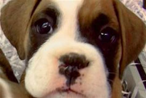 boxer puppies ny boxer large breed puppies for sale in westchester new york