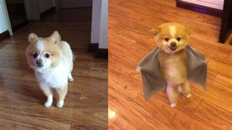pomeranian walking on hind legs walks on hind legs for two days after new haircut pisses him