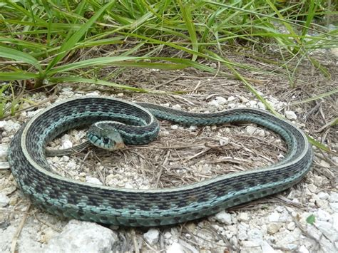 Garter Snake For Pet 17 Best Images About Garter Snakes Ppt Assignment On
