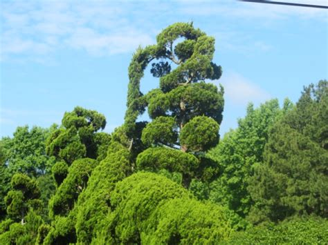 definition topiary pearl fryar s topiary garden in bishopville s c