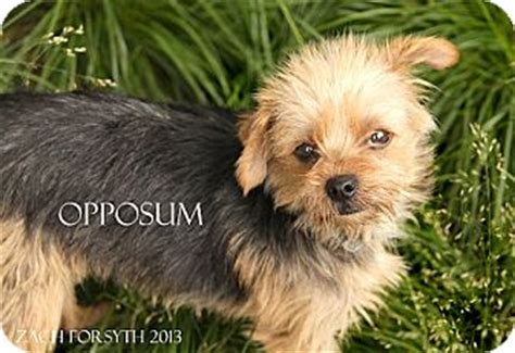 yorkie breeders portland oregon yorkie terrierterrier unknown type small mix for breeds picture