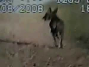 Proof of the chupacabra footage live video youtube