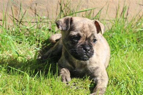 pug x terrier pug x terrier only left liverpool merseyside pets4homes