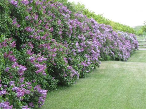 fast growing flowering hedges feb 22nd windbreaks a hedge above the rest great hedges