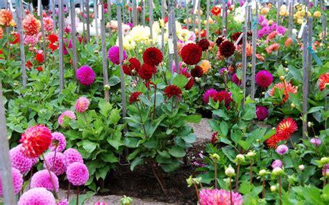 hd dahlia garden wallpaper free 139638