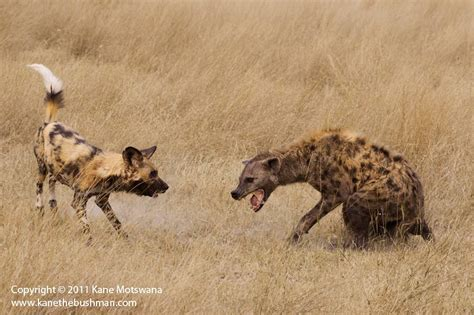 hyena puppies and spotted hyena interaction outdoorphoto gallery