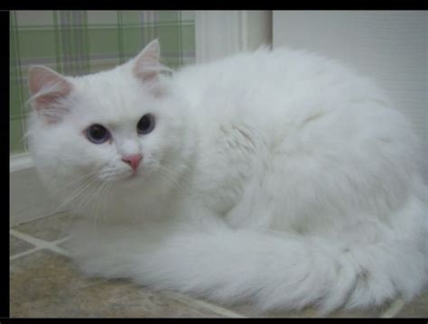 ragdoll white cat ragdoll cats information breeds pictures