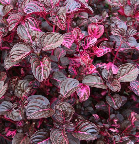 purple leaves pink flowers shrub blood leaf plant iresine herbstii there are many