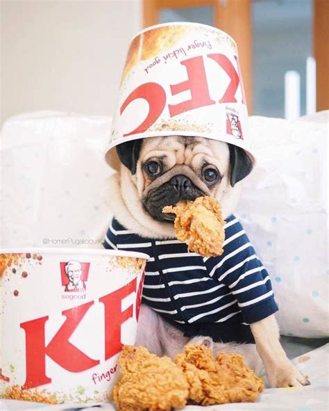 chicken pug 190 best images about makes me laugh on birthday pug guns n roses and pug