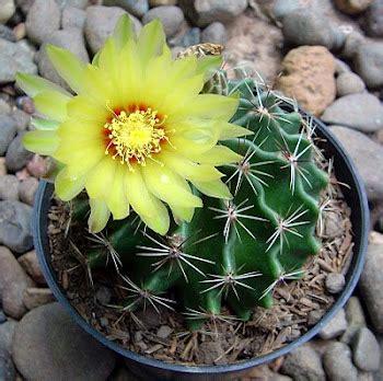 tanaman hias kaktus berbunga tips petani