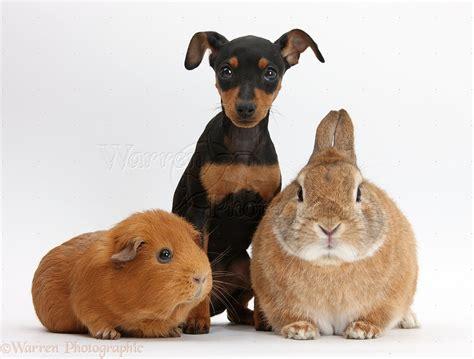 free miniature pinscher puppies miniature pinscher dogs 41 free wallpaper dogbreedswallpapers