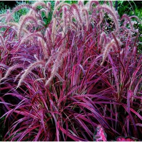 fireworks variegated purple fountain grass