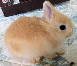 netherland rabbit colors brown netherland bunnies pics about space