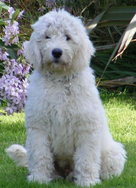 mini goldendoodles uk goldendoodle adults for sale b500 1 3 mp