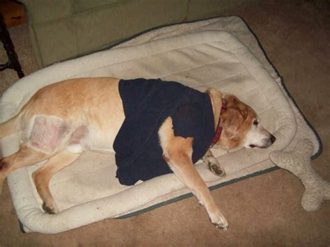 canine hemangiosarcoma hemangiosarcoma in dogs is there any hope