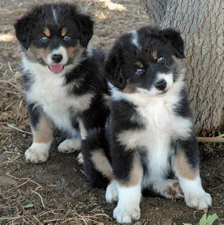 alaskan shepherd puppies alaskan shepherd info puppies temperament pictures
