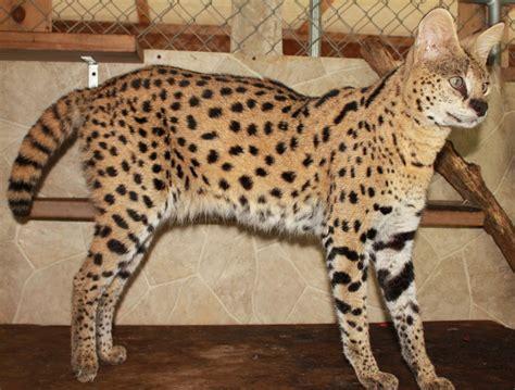 savannah kittens for sale about savannahs savannah savannah cat breeders savannah cats bengal cats for sale
