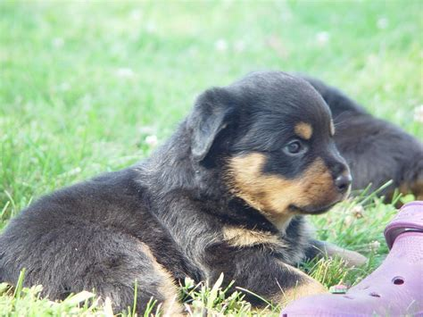 rottweiler puppies for sale in wv rottweiler breeders west coast rottweilers rottweiler breeders breeds picture