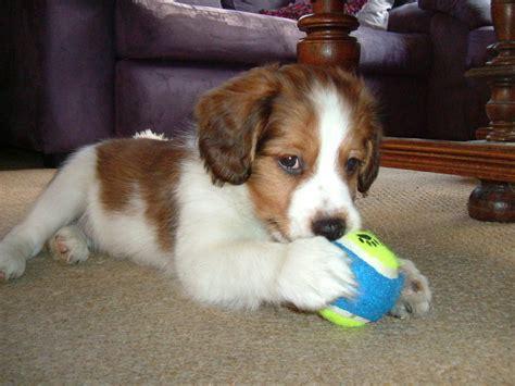 kooikerhondje puppies kooikerhondje info temperament care puppies pictures