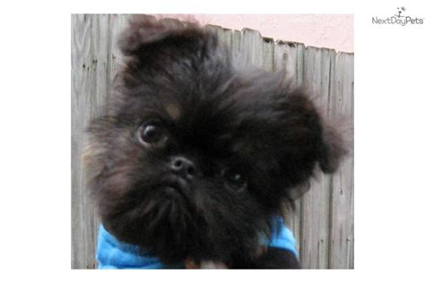 brussels griffon puppies for sale teacup brussels griffon puppies breeds picture