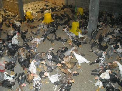 Bibit Ayam Arab home hdge yolasite