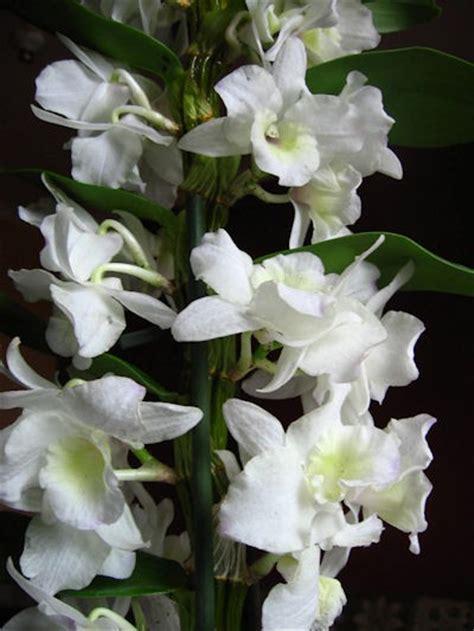 dendrobium orchideen kaufen - Orchideen Samen Kaufen