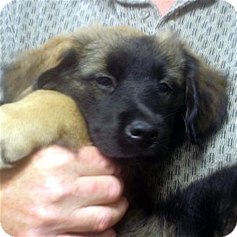 golden retriever mastiff mix puppies black lab bullmastiff mix puppies breeds picture
