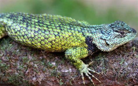 imagenes animales con escamas 191 de qu 233 est 225 cubierta la piel de los reptiles