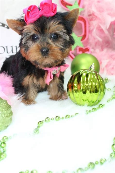 yorkies florida 17 best images about t cup yorkies for sale in florida on home tea cups